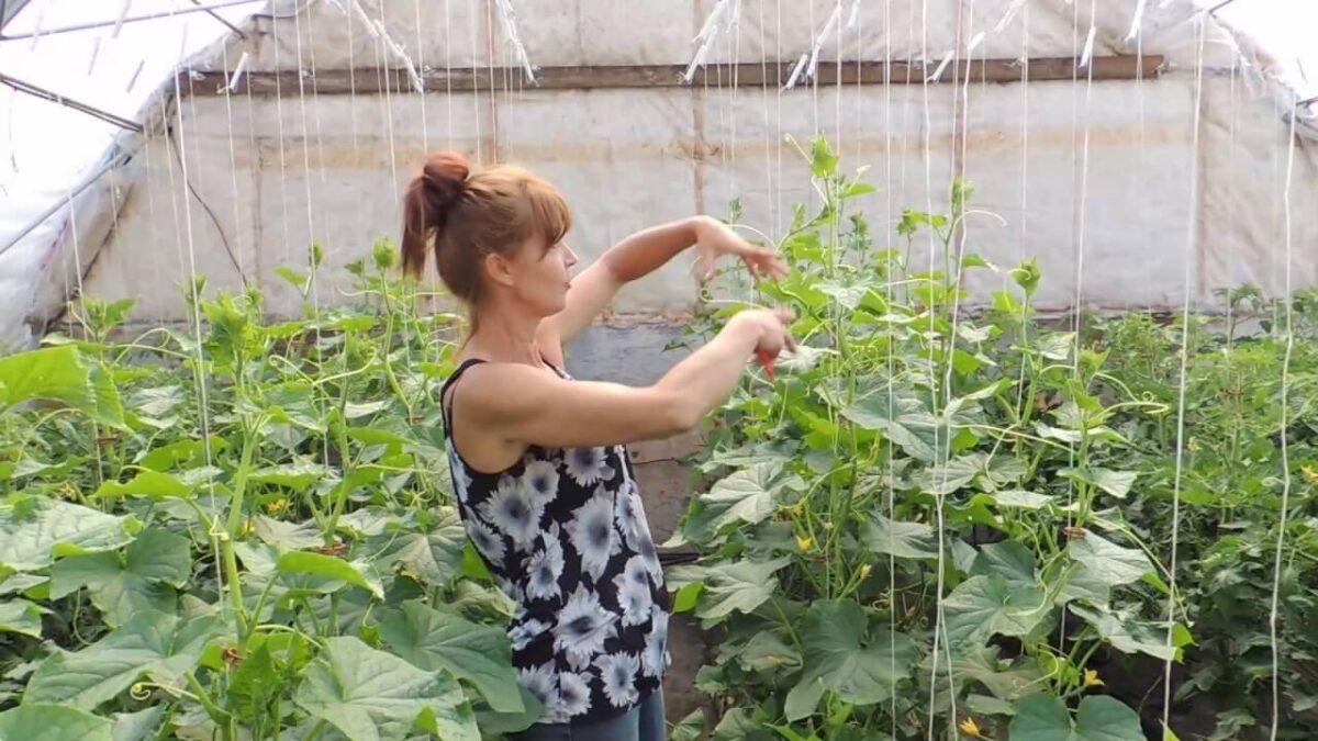 Plantare castraveti