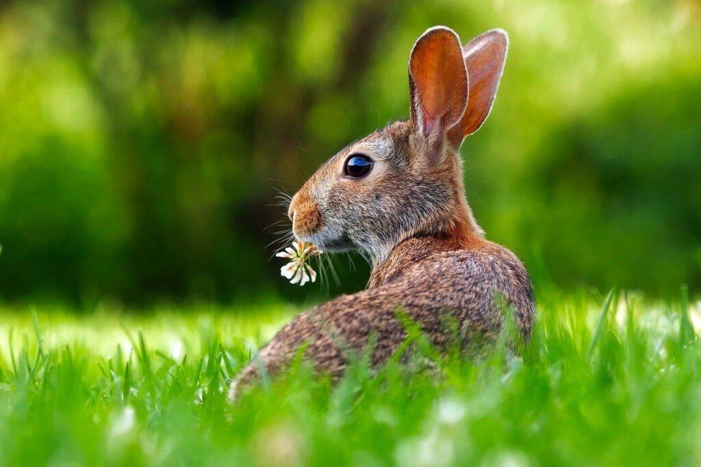 Ce mananca iepurii - un iepuras pe pajiste cu o floare