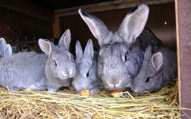 Iepurele de Cluj rase de iepuri