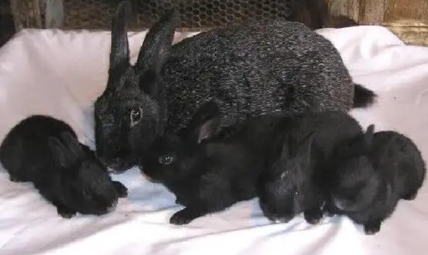 Rasa de iepuri Argintiu francez