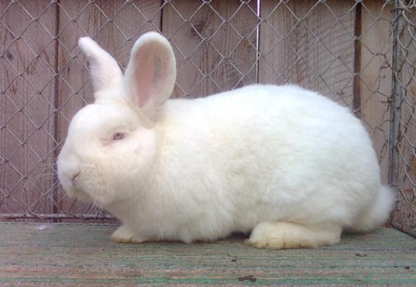 Rasa iepuri Neozeelandez alb