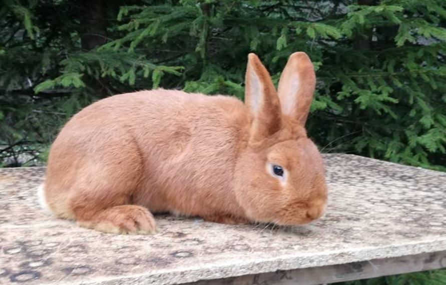 Rasa de iepuri Neozeelandez rosu