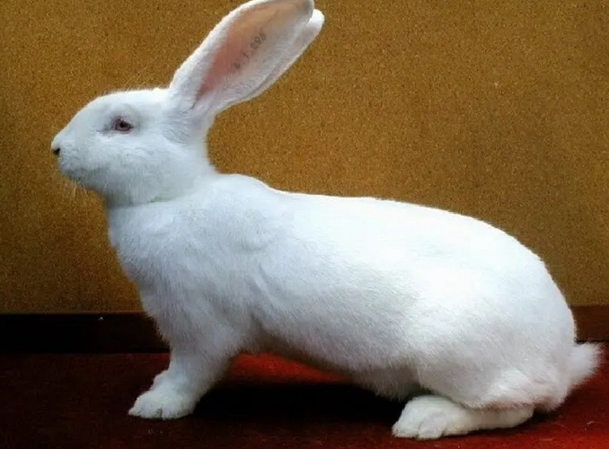 Uriasul German Alb - rase de iepuri