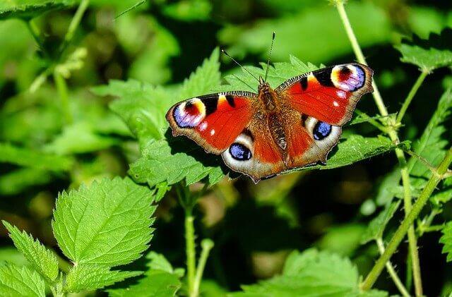 Ce flori poti planta pentru a atrage fluturii