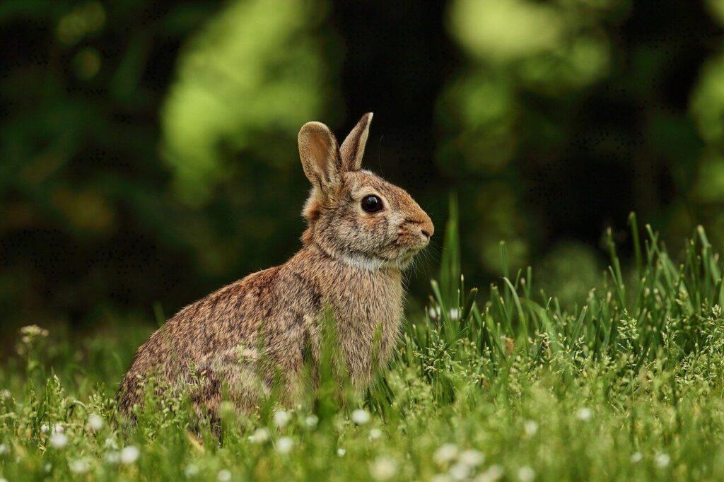 Coccidioza la iepuri