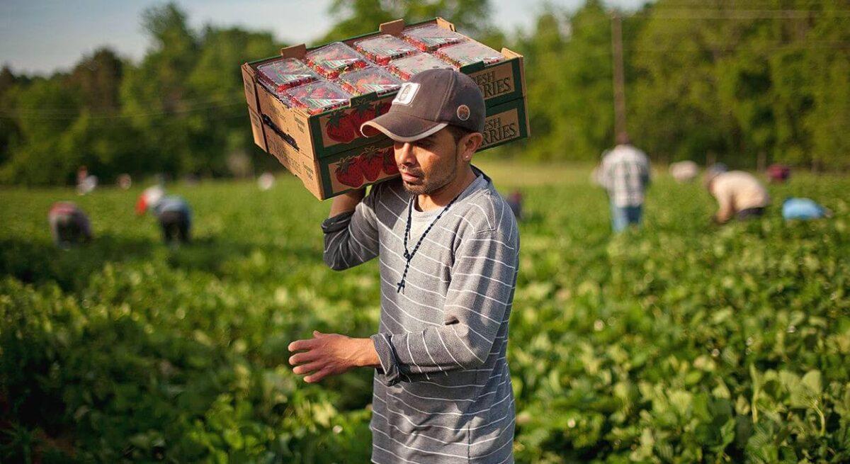 Imigranti munca agricultura