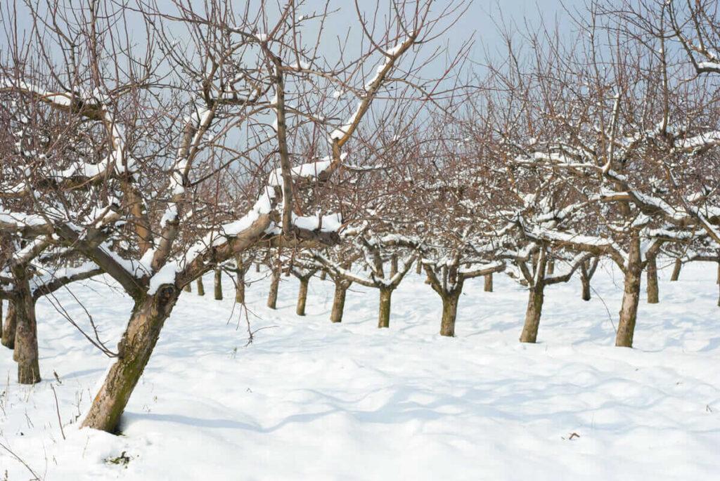 Rezistenta inghet pomi fructiferi